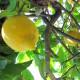 Limoni IGP d'Italia
