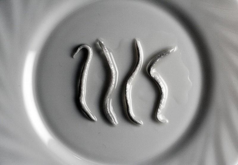 angulas2