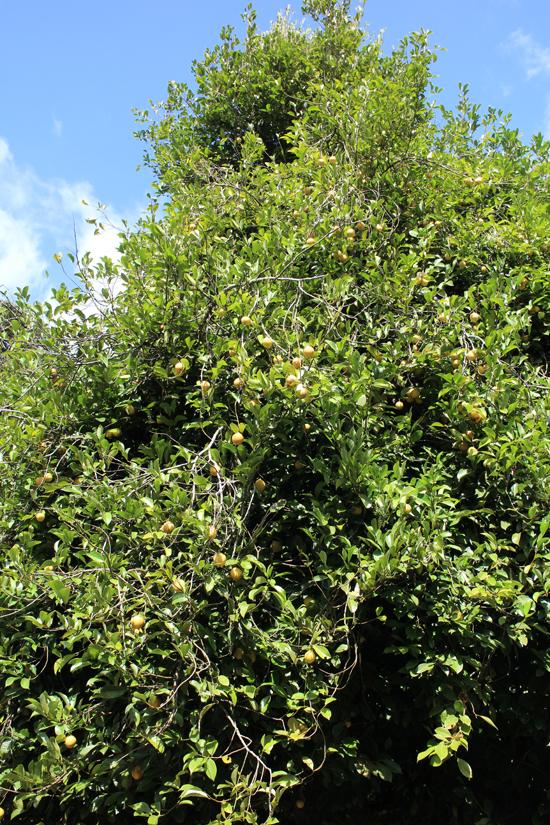 L'albero della noce moscata