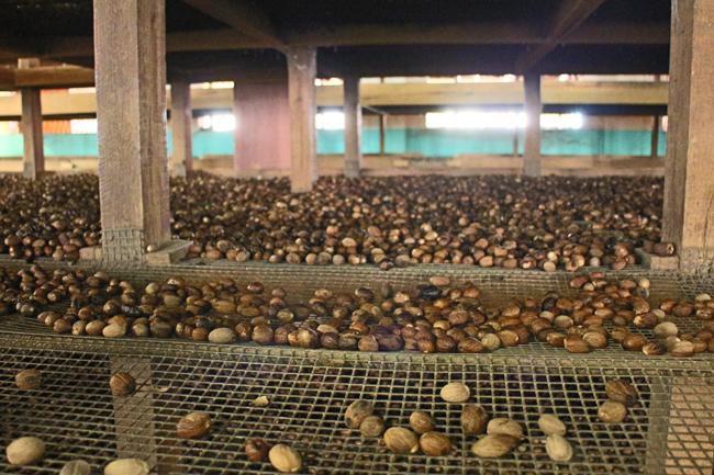 Asciugatura delle noci dopo essere state messe in acqua per selezionarle